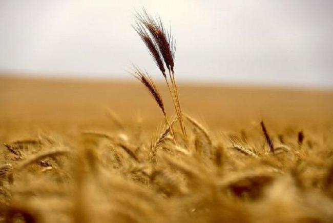 الانبار تعلن انتهاء عمليات حصاد محصول الحنطة في مناطق شرقي الرمادي