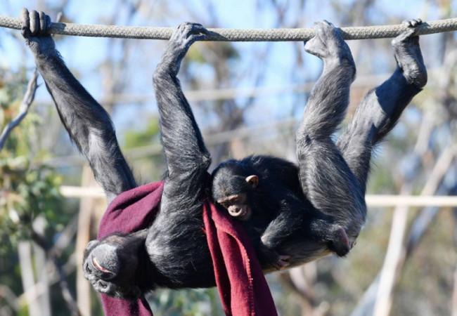 حديقة إماراتية تحتفل باليوم العالمي للشمبانزي