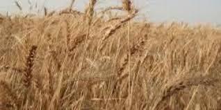 التجارة تؤكد الاستمرار بتصنيع الشلب لرفد التموينية بالرز المحلي