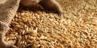 الزراعة: مجلس الوزراء يوافق على دعم الحنطة والشعير بنسبة 70%