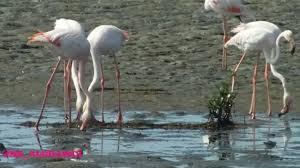 الموارد المائية تطالب المحافظات الجنوبية بمنع الصيد فوراً لطائر (الفلامينغو)