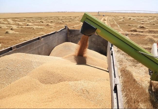 العتبة الحسينية تعلن حصاد (1000) طن حنطة بعد زراعتها في صحراء كربلاء