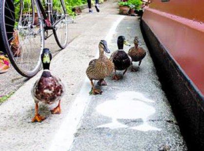 ممرات لسير البط في الشارع