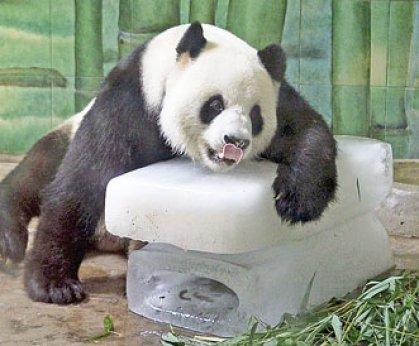 استراحة دب الباندا على الثلج