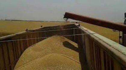 التجارة تعلن انتهاء تسويق الحنطة وتأمين خزين يكفي للموسم المقبل