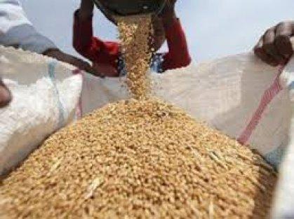 التجارة تباشر بعملية تغطية الحنطة المحلية المُستلمة