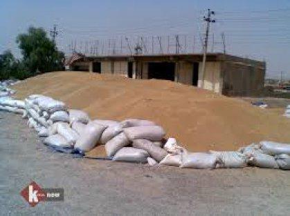 الزراعة : مجلس الوزراء يقر دعم بذور الرتب العليا لمحصولي الحنطة والشعير بنسبة 80%