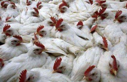 البيطرة تعلن خلو المحافظات العراقية من انفلونزا الطيور عدا اقليم كردستان