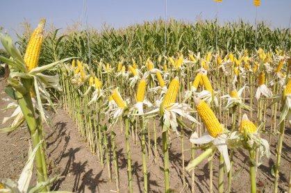 الزراعة :اعتماد صنف هجين الذرة الصفراء في ذي قار باعتباره صنفاً مقاوماً للملوحة