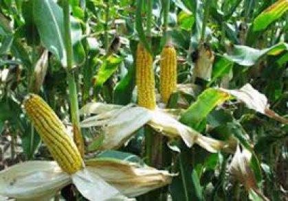وزارة الزراعة تعتمد أصناف جديدة من بذور الحنطة والذرة الصفراء