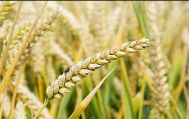 تسويق أكثر من مليون طن من الحنطة المحلية وواسط تتصدر المسوقين