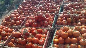 النجف تمنع دخول الطماطم المستوردة