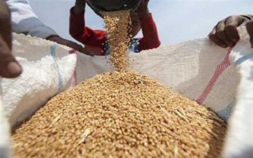 التجارة:كميات الحنطة المسوقة تفحص مختبريا وتدقق عبر لجان فنية ورقابية