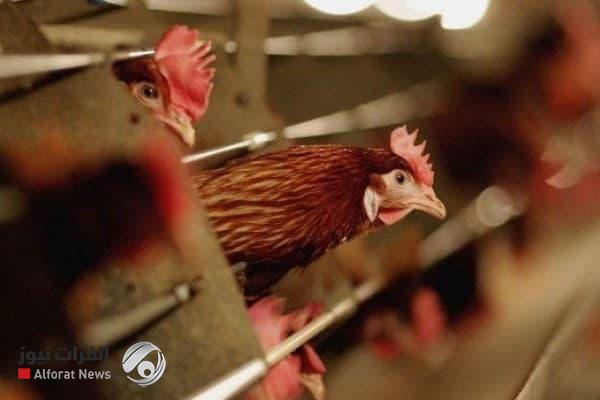 توضيح رسمي لإصابة إنفلونزا الطيور في واسط